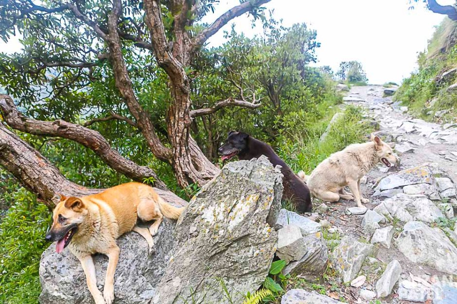 You will come across lots of dogs on your way up. Some will even join you and guide you through out the trek.